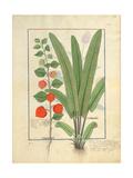 Ms Fr. Fv VI 1 Fol.161R Physalis Giclee Print by Robinet Testard