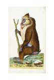 Variegated Baboon or Mandrill Mandrillus Sphinx Giclee Print by Frederick Polydor Nodder