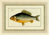 Cyprinus-Gibelio Prints