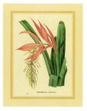 Bromelia Zebrina Kunstdrucke von C. Van Geel
