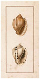 Conchology Cassis III Prints by W. Miller