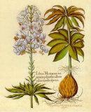 Lilium Montanum II Art