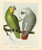 Amazon / Grey Parrots Poster