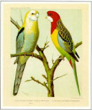 Pale-Headed and Rose-Hill Parrots Posters