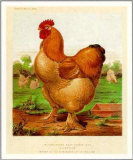 Sampson-Poultry Prints