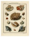 Conchylien Cabinet II Posters por W. Martini