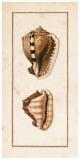 Conchology Cassis II Kunst von W. Miller