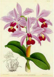 Orquideas IV Print by J. Nugent