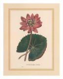 Nymphea Rubra Kunstdrucke von C. Van Geel