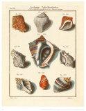 Conchylien Cabinet I Kunstdrucke von W. Martini