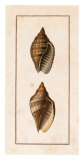 Conchology, Voluta II Prints by W. Miller