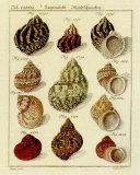 Conchylien Cabinet IV Poster von W. Martini