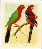 King and Pennant Parrots Prints