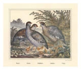 Perdices Prints by Joachim Scholz