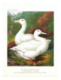 Aylesbury Ducks Poster