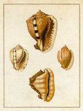 Conchology  Cassis Pôsters por W. Miller