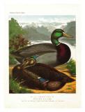Rouen Ducks Prints