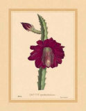 Speciosissimus Prints by C. Van Geel