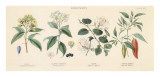 Spice Plants II Poster by William Rhind