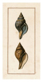 Conchology - Pyrula Posters by W. Miller