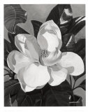 Weiße Magnolie Kunstdrucke von  Hornbuckle