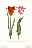 Tulipa Cultivar Prints by George Wolfgang Knorr