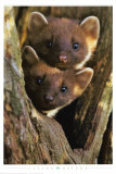 Pine Martens Print by Andy Rouse