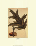 Red Oak Prints by Francois A. Michaux