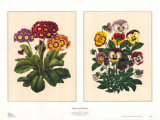 Pansy and Primrose Posters by A. J. Wendel