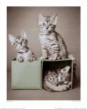 Gattini tigrati Stampe di Hale, Rachael