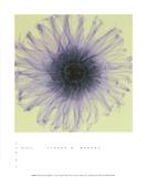 Dahlia Print by Steven N. Meyers