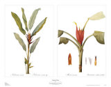 Tropical Floral Posters by Pierre-Joseph Redout&#233;