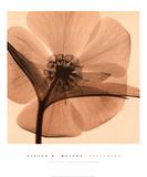 Hellebore I Prints by Steven N. Meyers