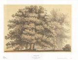 American Oak Print by Able Hotchkiss