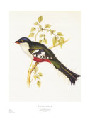 South American Bird II Art by John Gould
