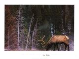Elchbulle, Wyoming Kunstdrucke von Art Wolfe