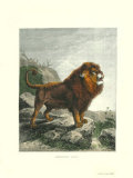 Barbary Lion, Art Print