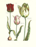 Elephant Tulips I Prints by Crispijn de Passe