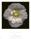 White Poppy Print by Harold Feinstein