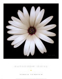 Sunscape Daisy Posters by Harold Feinstein