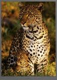 Leopard with Infant at Masai-Mara, Kenya Poster von Michel & Christine Denis-Huot