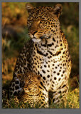 Leopard with Infant at Masai-Mara, Kenya Prints by Michel &amp; Christine Denis-Huot