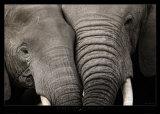 Câlin d'éléphants Affiches par Michel & Christine Denis-Huot
