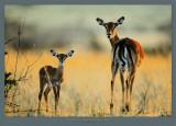Impala, Mother and Infant Plakater af Michel & Christine Denis-Huot
