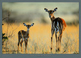 Impala, Mother and Infant Prints by Michel &amp; Christine Denis-Huot