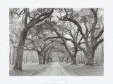 Arcos de roble Lámina por Jim Morris