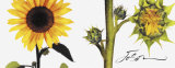 Helianthus Posters by JoSon 