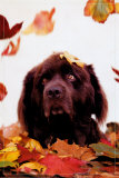 Dog in Leaves Posters