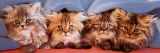 Cats under Blanket Photo