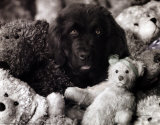 Dog with Teddies Prints